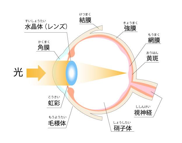 目の構造イラスト